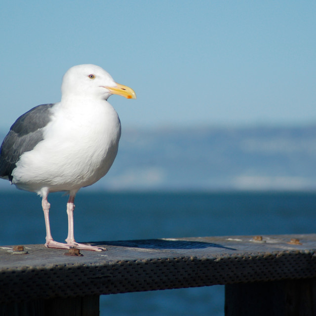"""A seagull is perched on a wooden fence"" stock image"