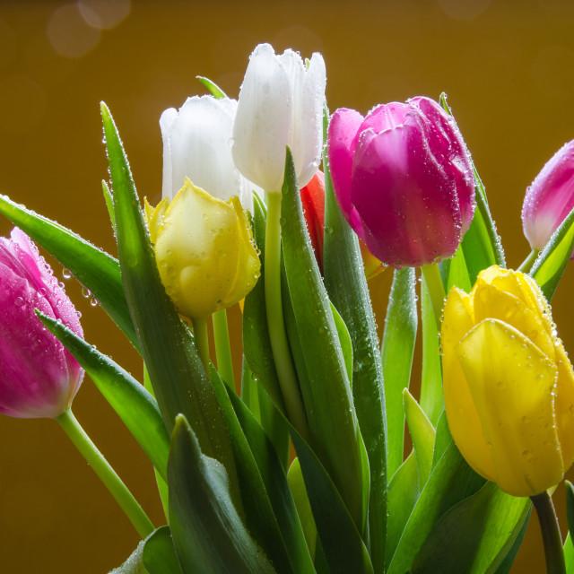 """Fresh tulips"" stock image"