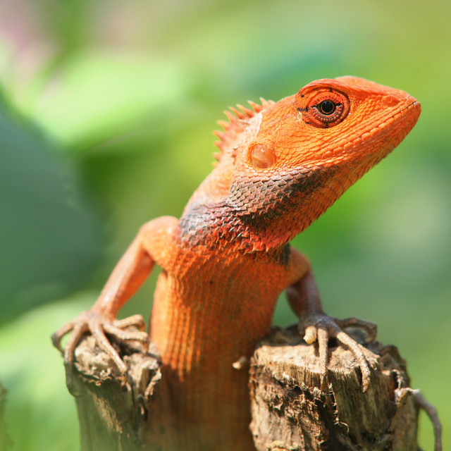 """orange lizard"" stock image"