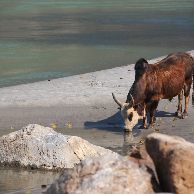 """cow on the ganges"" stock image"