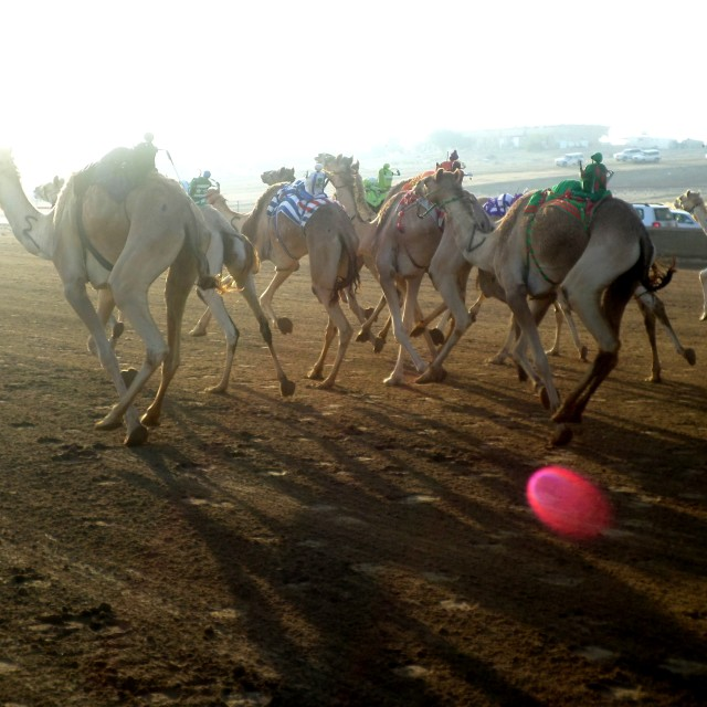 """Camel racing at dawn near Abu Dhabi"" stock image"