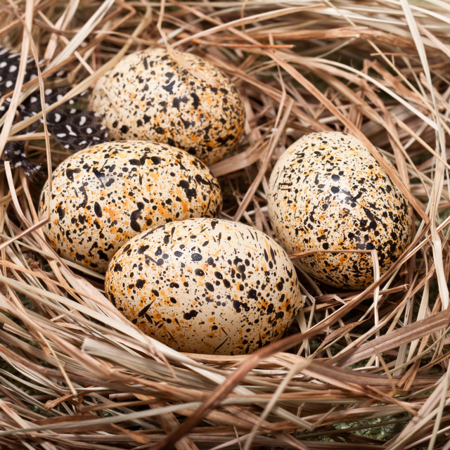 """Nest Eggs"" stock image"