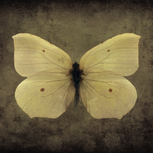 """Vintage Butterfly Sepia"" stock image"