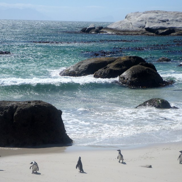 """Penguins at Boulders Beach"" stock image"