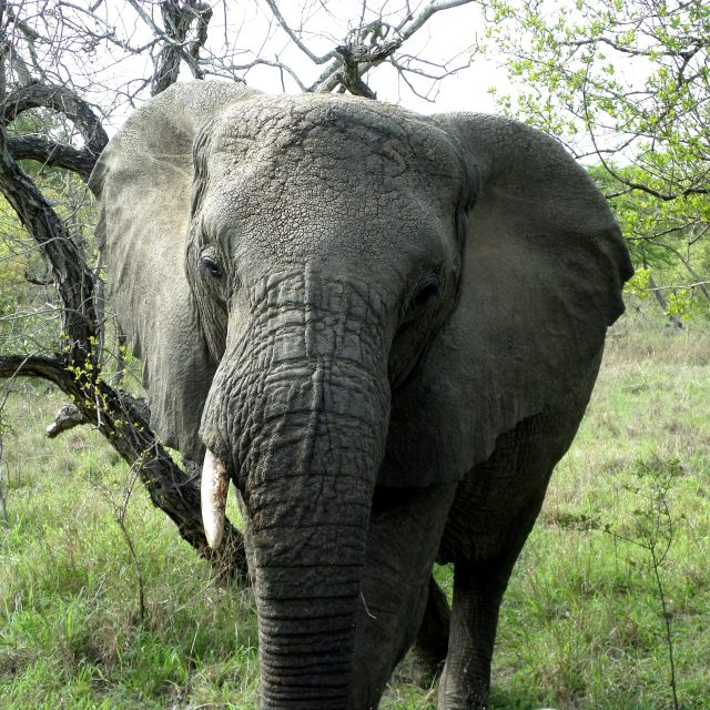 """Elephant in Kruger"" stock image"