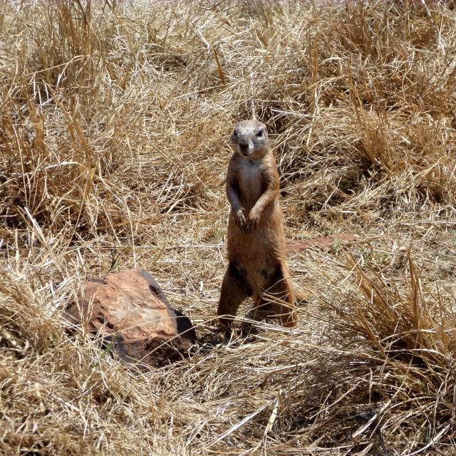 """""""Meerkat at Pilanesberg, South Africa"""" stock image"""