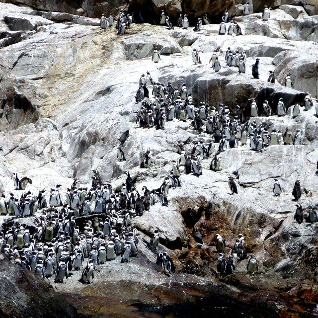 """""""Penguins on island off Port Elizabeth"""" stock image"""