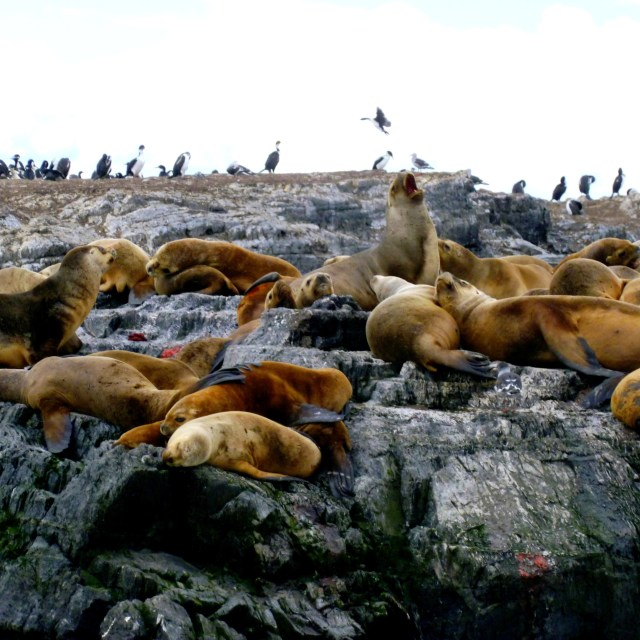 """Sea lions and birds in the Beagle Channel"" stock image"