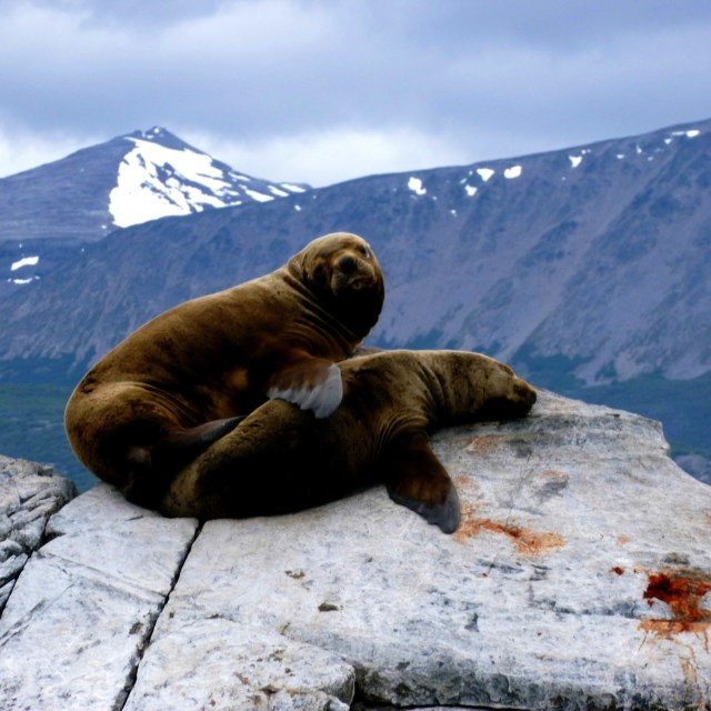 """Sea Lions near Ushuaia, Argentina"" stock image"