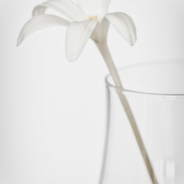 """White Flower in a Vase"" stock image"