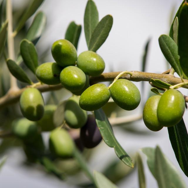 """olive"" stock image"
