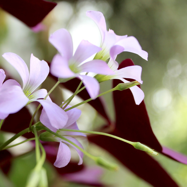 """Oxalis Triangularis"" stock image"