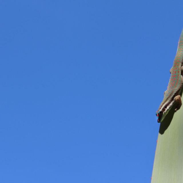 """Sky gecko"" stock image"