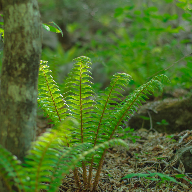 """Fern in the mountains"" stock image"