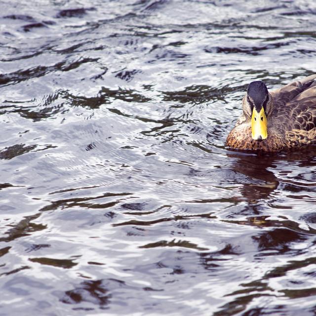 """Duck!"" stock image"