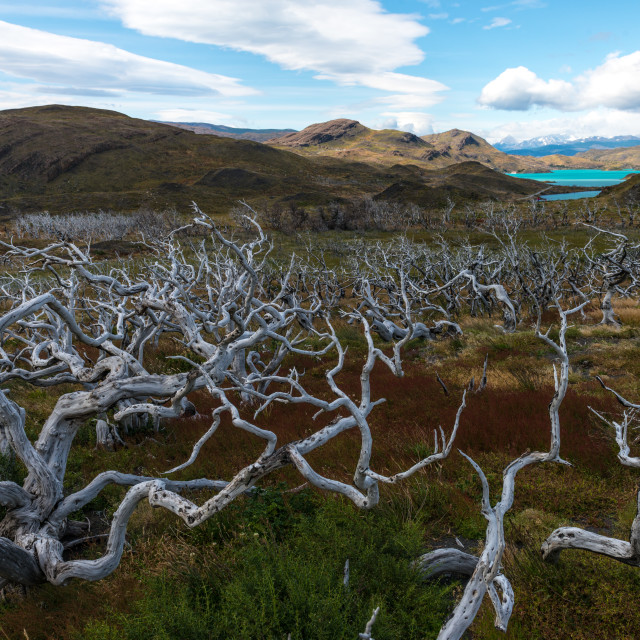 """Spooky skeletal forest in Torres del Paine NP"" stock image"