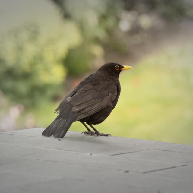 """Juvenile Blackbird"" stock image"