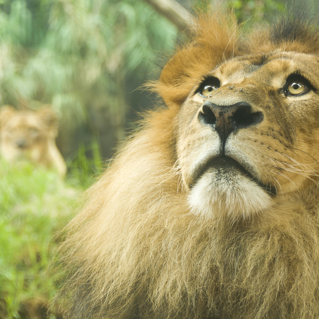 """Male and female lion"" stock image"