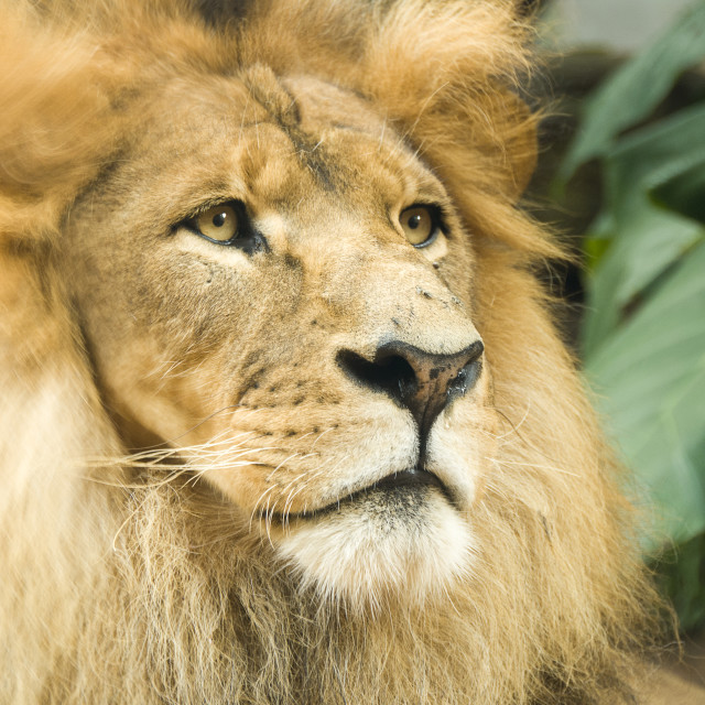 """Male lion close up"" stock image"