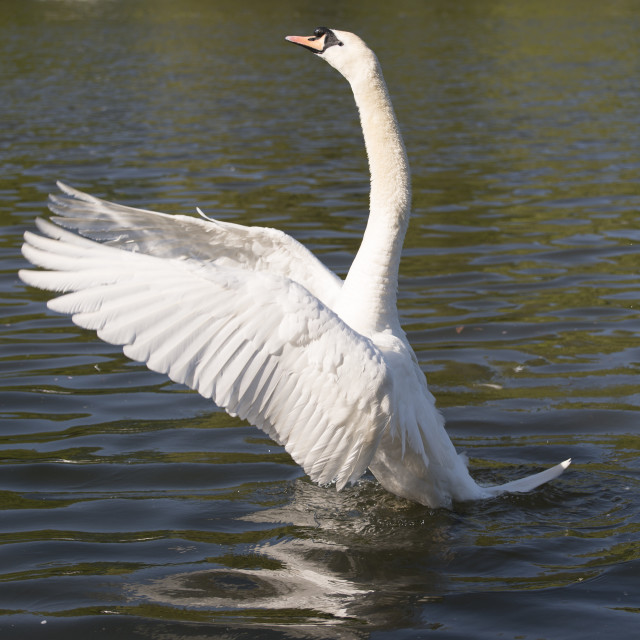 """Swan flapping it's wings"" stock image"