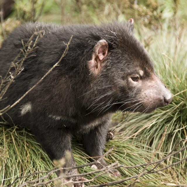 """""""Tasmanian Devil"""" stock image"""