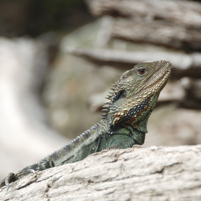 """Water Dragon"" stock image"