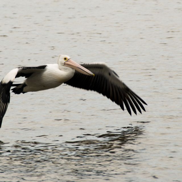 """""""Pelican flying low over the water"""" stock image"""