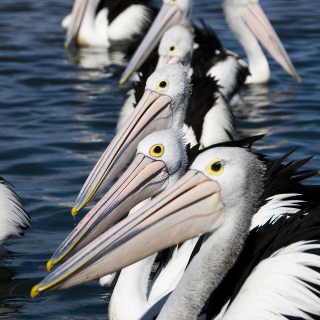 """Pelicans line up"" stock image"