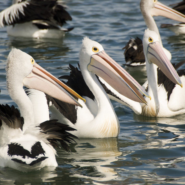 """Pelicans waiting for a feed"" stock image"