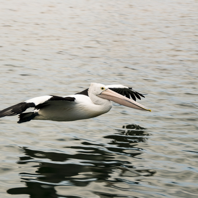 """Pelican flying low over the water"" stock image"