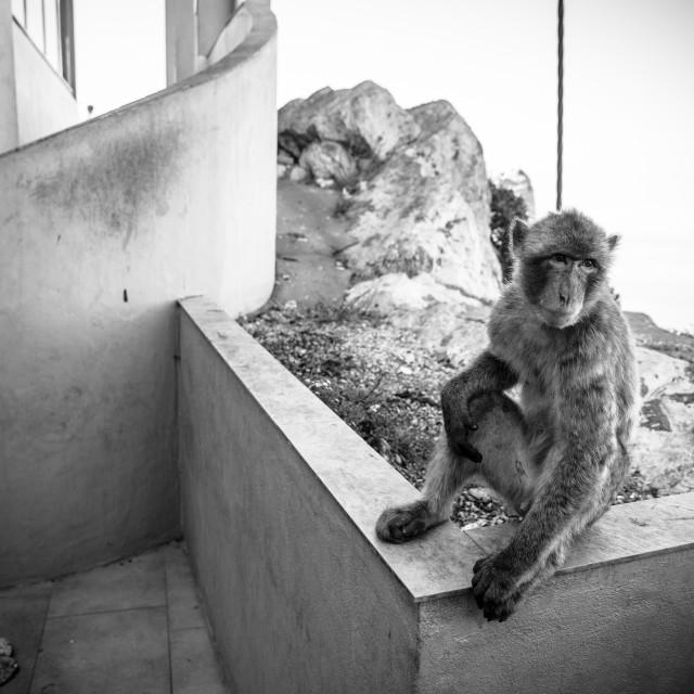 """""""Gibraltar Monkeys"""" stock image"""