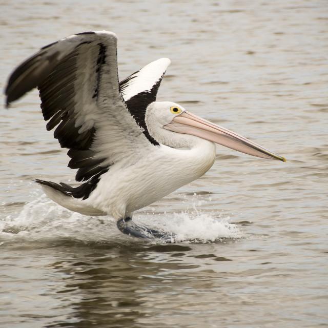 """Pelican landing on the water"" stock image"