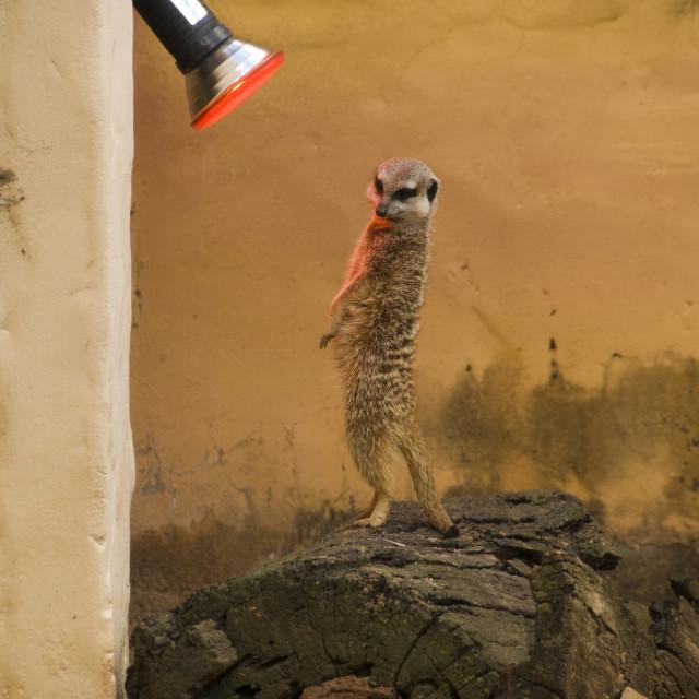 """""""Meerkat heater"""" stock image"""