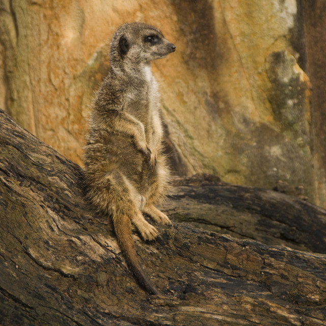 """Meerkat standing on a log"" stock image"
