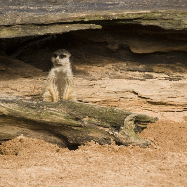 """Meerkat hiding under a log"" stock image"