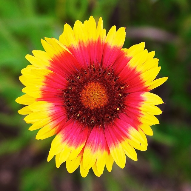 """Indian Blanket"" stock image"