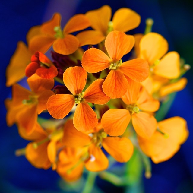 """Western Wallflower"" stock image"