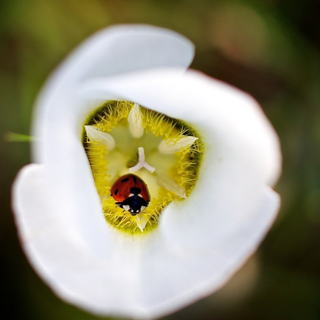 """""""Mariposa Lilly with Lady Bug"""" stock image"""