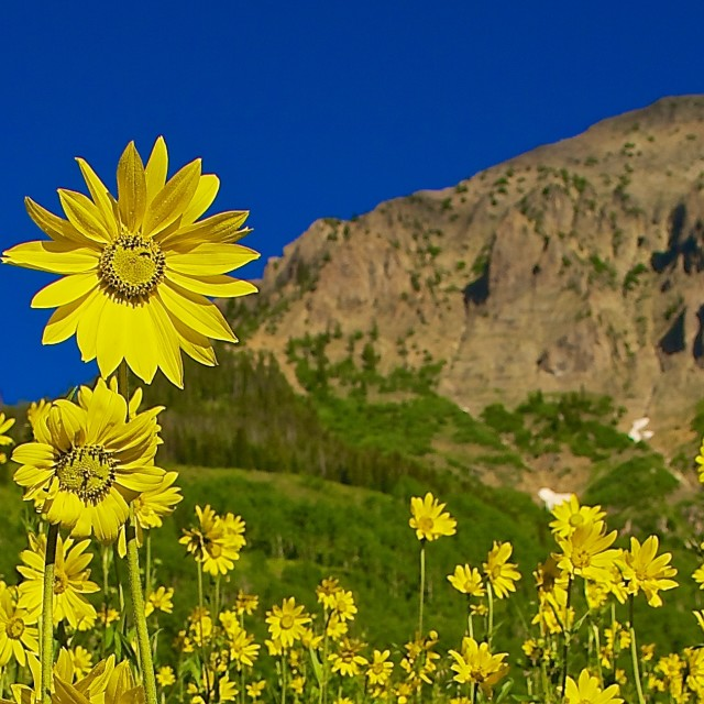 """Crested Butte Sunflowers"" stock image"