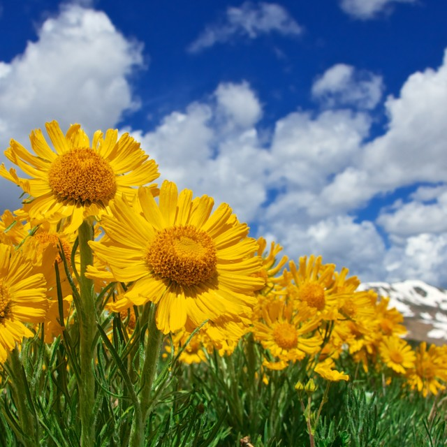 """Sunflowers, Mountains, Blue Sky"" stock image"