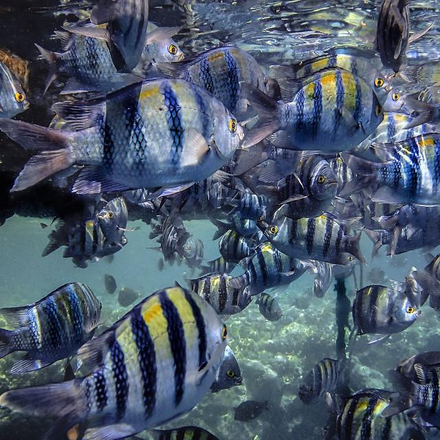 """Scissortail Sergeant Fish"" stock image"