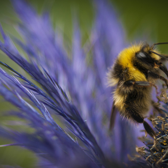 """Bee on a Scottish Thistle"" stock image"