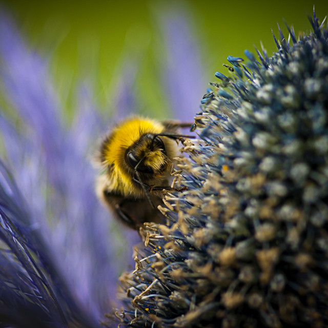 """Macro of a bee"" stock image"