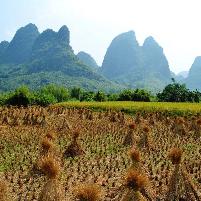 """Yangshou China Wheat sheaves"" stock image"