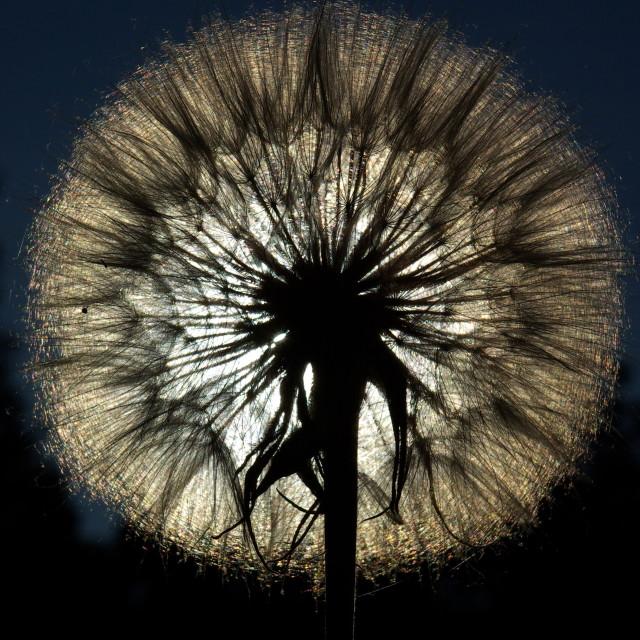 """Dandelion Silhouette"" stock image"