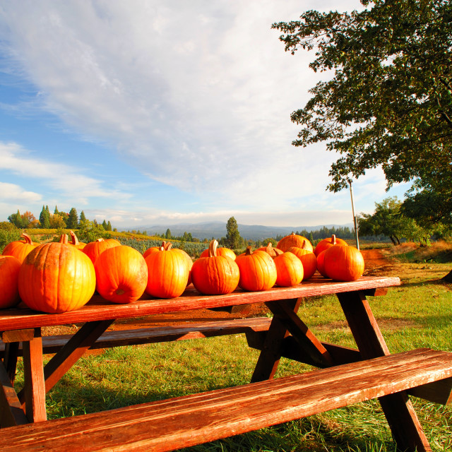 """""""Pumpkins On A Bench"""" stock image"""