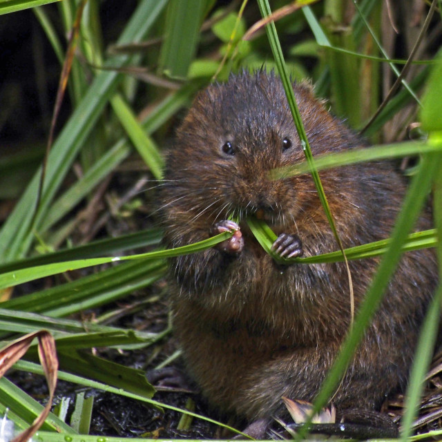 """""""Water vole"""" stock image"""