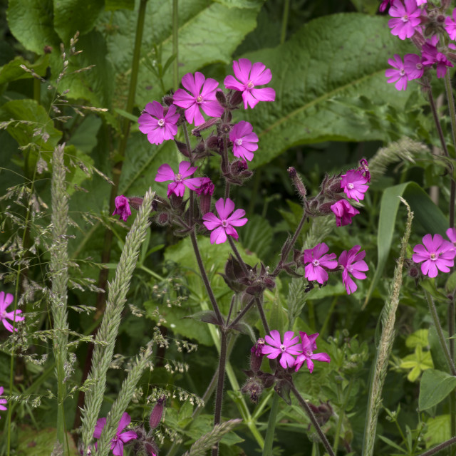 """""""Red Campion"""" stock image"""