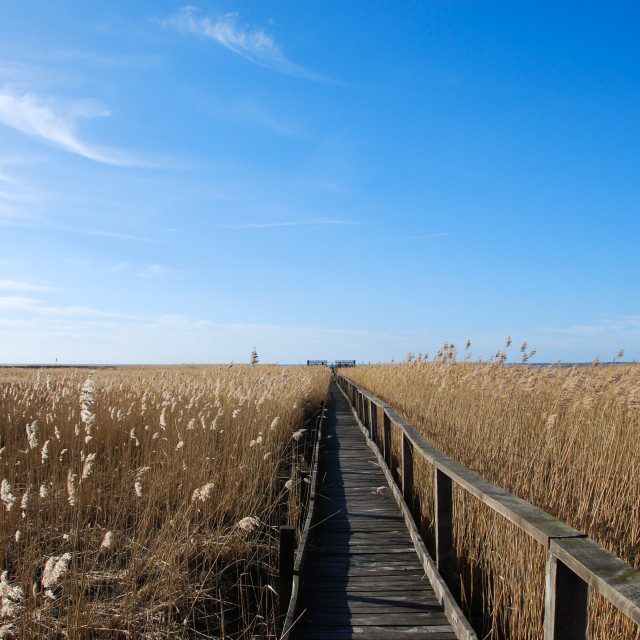 """Wooden footpath in the reeds"" stock image"