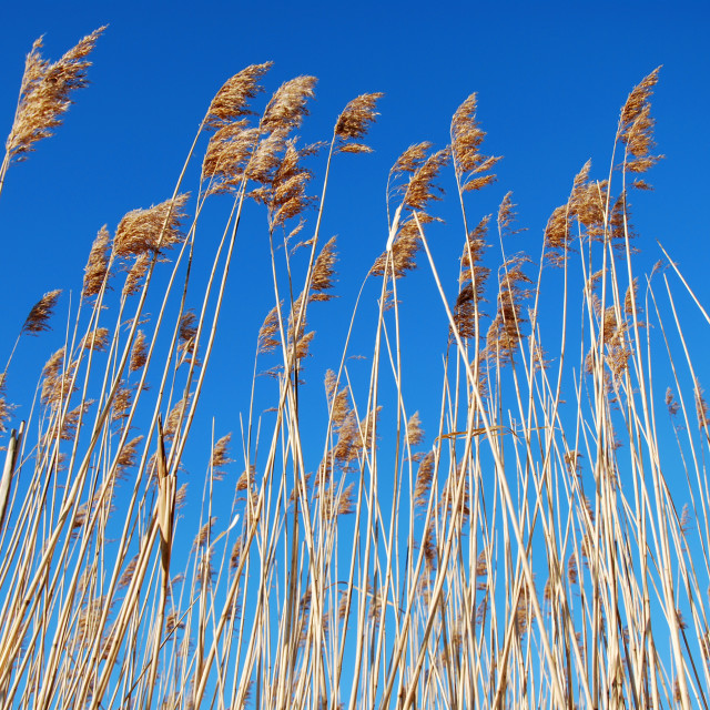 """Reeds at blue sky"" stock image"